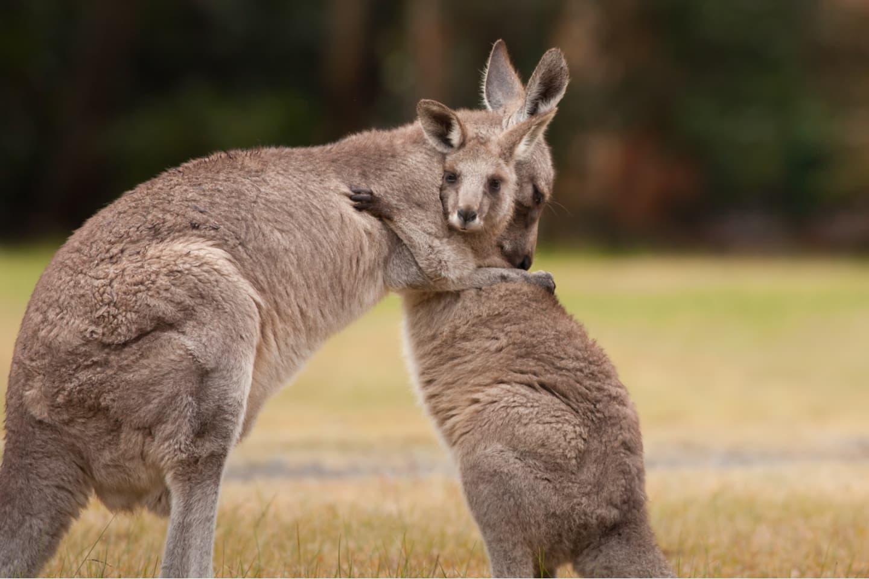 Mom kangaroo hugging her offspring